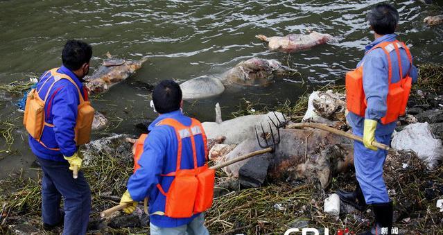 Фото. Смерть свиней в реках Китая