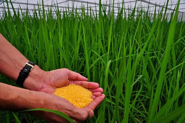 Фото. Экспериментальное выращивание золотого риса