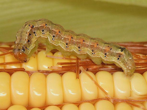 Фото. Гусеница хлопковой совки (Helicoverpa Zea). В данном случае она является вредителем кукурузы.