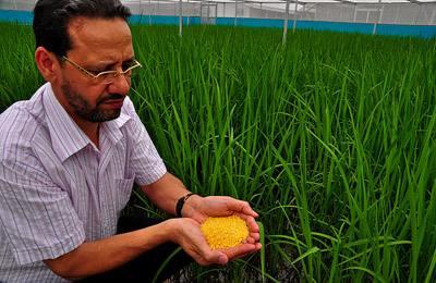 Фото. Золотой рис - ГМО