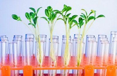 Фото. Ростки ГМО