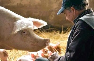 Фото. Выпас свиней