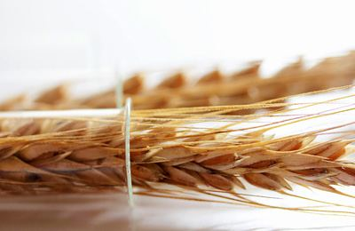 Фото. Трансгенная пшеница