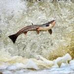 Фото. Прыгает лосось