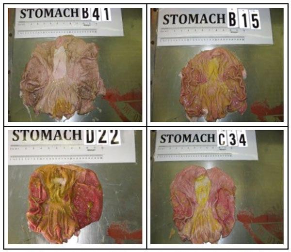 Фото. Вскрытые желудки свиней