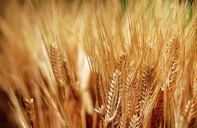 Фото. Неутвержденная пшеница