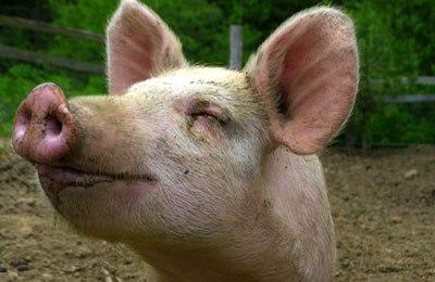 Фото. Веселая свинка
