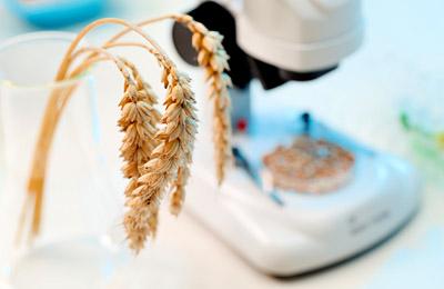 Фото. Исследование пшеницы