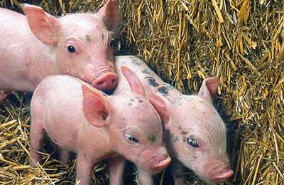 Фото. Три модифицированные свиньи