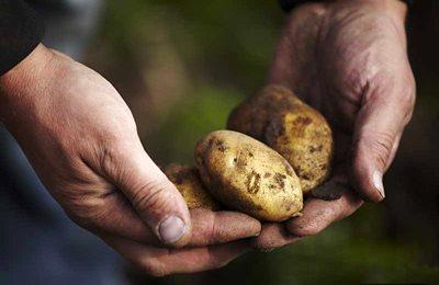 Фото. Сбережем картофель