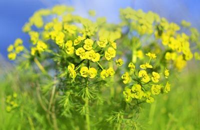 Фото. Желтая канола