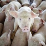 Фото. Больные свиньи