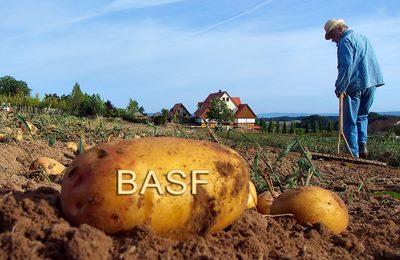 Фото. Модифицированный картофель Amflora