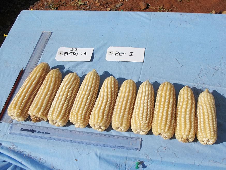 Фото. Новые сорта кукурузы в Африке