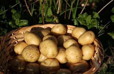 Фото. Очень много картошки в корзине