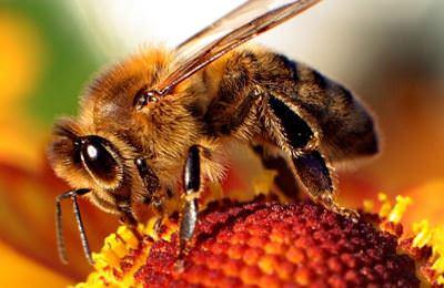Фото. Пчела сидит на красивом и ярком цветке