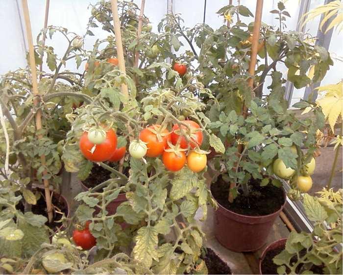 Фото. Генетически модифицированный помидор