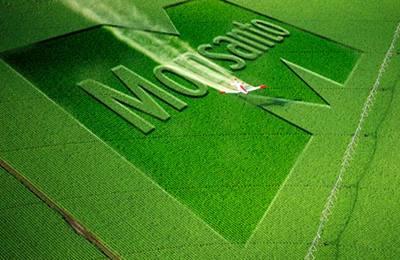 Фото. Зеленое поле засеянное ГМО