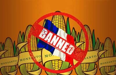 Фото. Франция запрещает трансгенную кукурузу