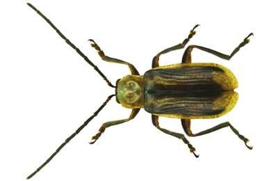 Фото. Западный кукурузный жук