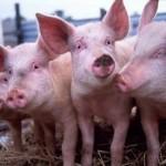 Свинки которых кормили ГМО