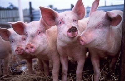 Фото. Свиньи пострадавшие от Раундапа