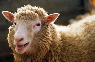Фото. Первое клонированное животное