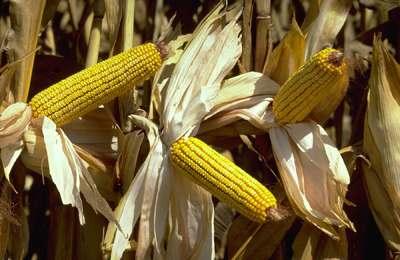 Фото. Исследуемая ГМО кукуруза