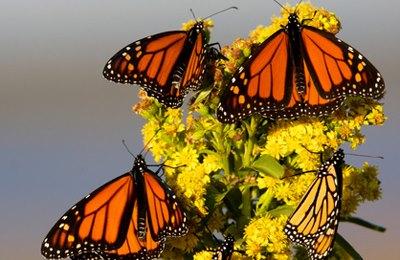 Фото. Гнездятся бабочки