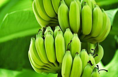 Спеющие бананы