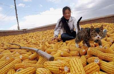 Американская кукуруза не нежна Китаю