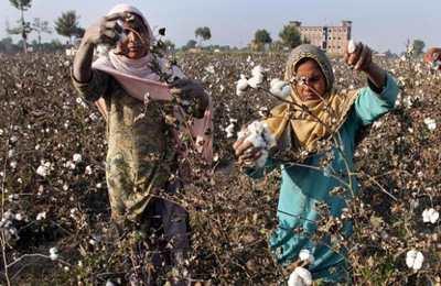 Фото. Пакистанские женщины собирают хлопок