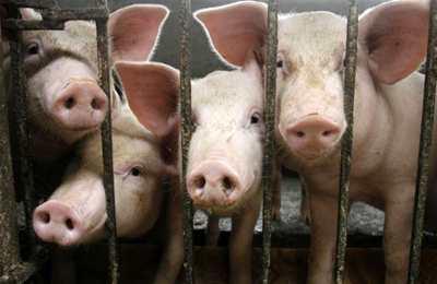 свиней которых испытывали глифосатом