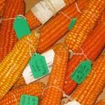 обогащенная витамином А кукуруза