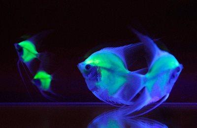 флуоресцентная рыба
