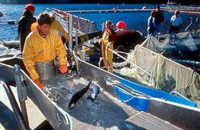 отлов лосося в рыбном хозяйстве