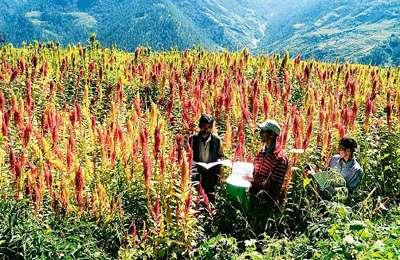 фермеры выращивают амарант