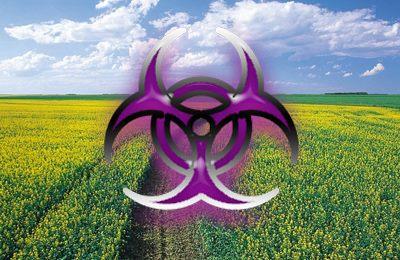 генетическое загрязнение рапса
