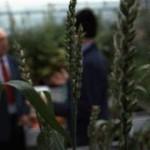 растениеводы о ГМО