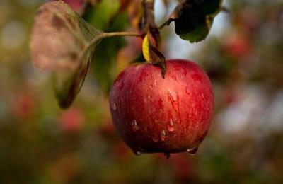 ярктическое яблоко