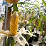 сочная кукуруза