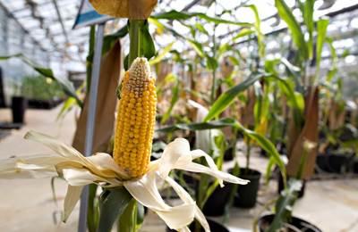 модифицированная кукуруза в Украине