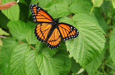 бабочка присела на молочай