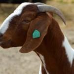 исследование ГМО на козах