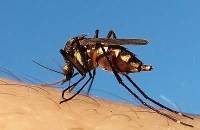малазйские ГМО комары
