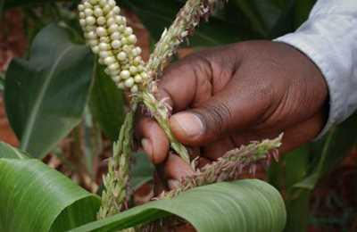 молодой канан кукурузы