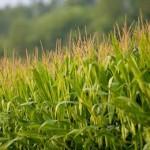 реакция кукурузы на климатические условия