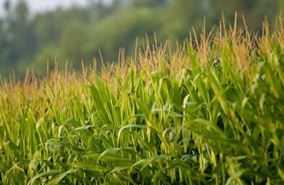 поле цветущей ГМО кукурузы