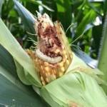 гусеница выживает на ГМО кукурузе