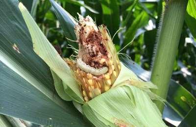 гусеница на кукурузе
